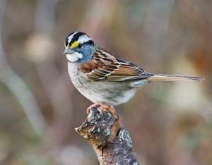 A white-throated sparrow perched on a branch