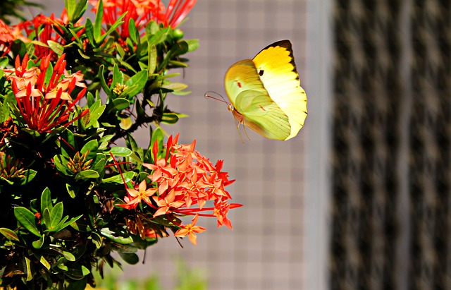 a yellow butterfly approaches some flowers