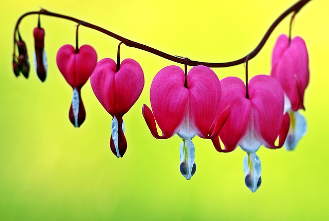Several pink bleeding heart flower blossoms.
