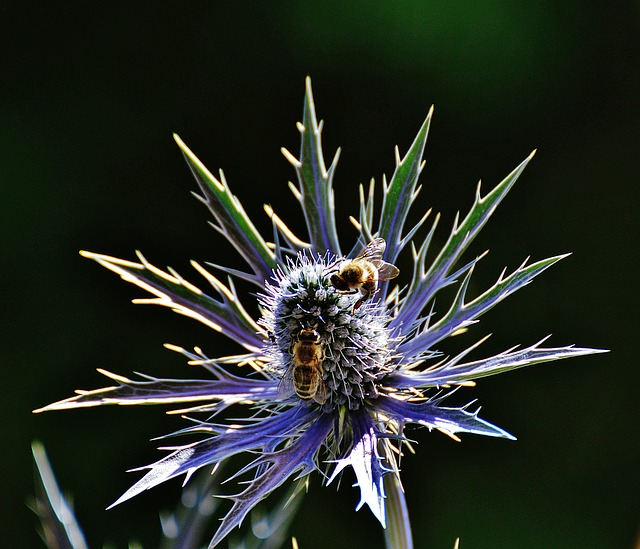 close-up of a spiny thistle with two bees on it