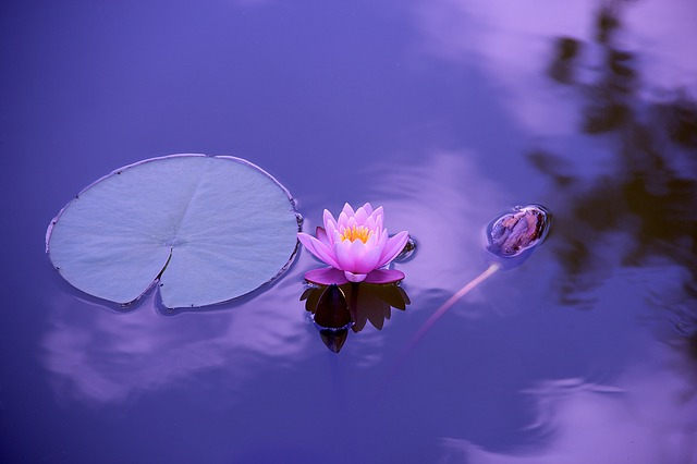 An image A single lotus flower on the surface of still water.