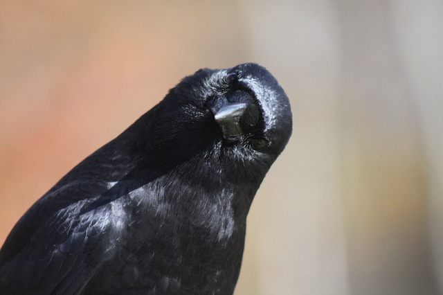 An image of a crow tilting its head to the side.