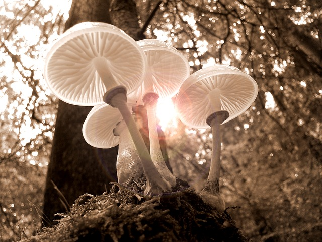 An image of the sun shining through the tops of white-capped mushrooms on the forest floor.