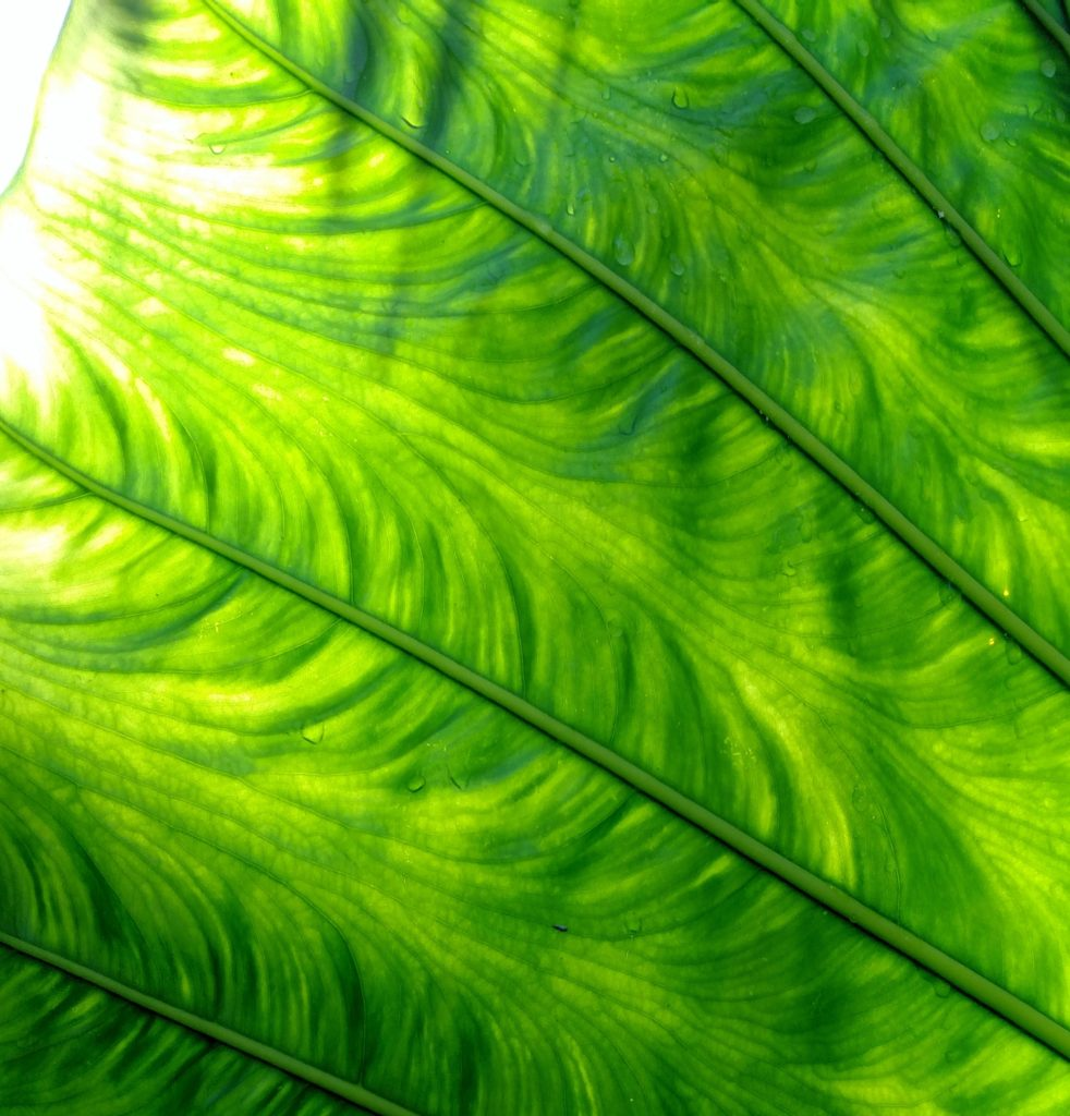 An image of an extreme closeup of a very large leaf.