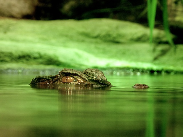 An image off green waters and riverbank with just the eye of a crocodile appearing above the water.
