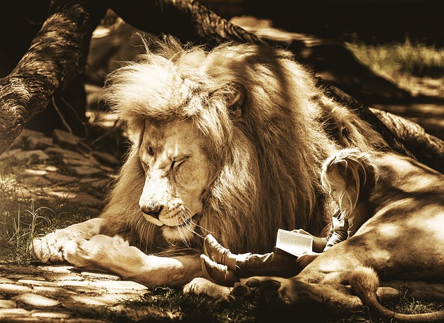An image of a child reading a book, snuggled up to a large male lion.