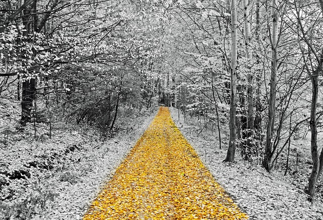 An image of a white, wintery woods with a path going through the center. The path is covered in gold leaves.