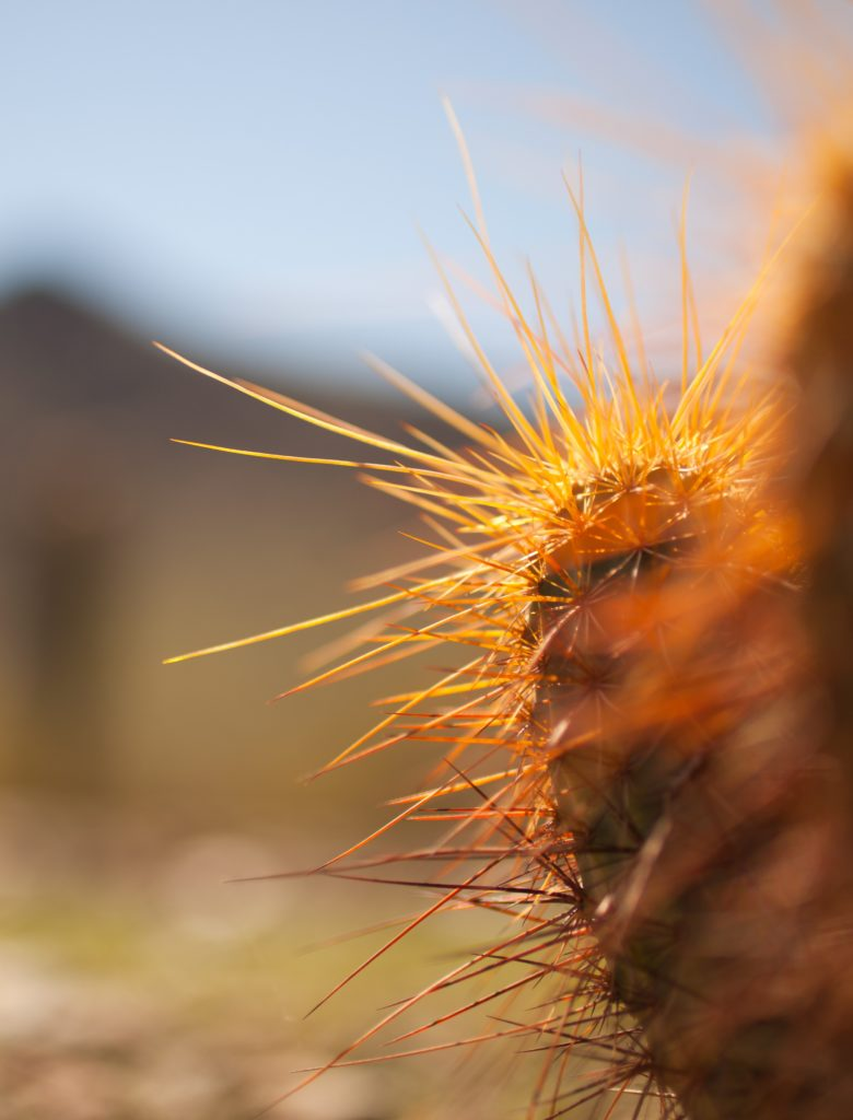A close-up image of the spikes coming out of a cactus.