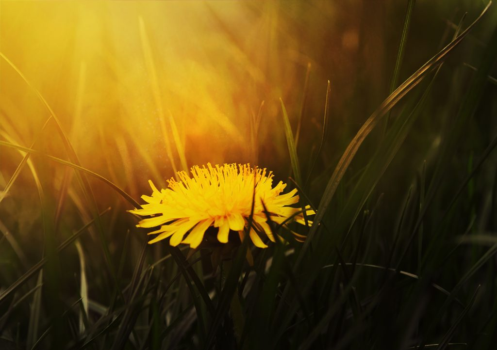 An extreme closeup of a dandelion bloom with yellow light glowing above it.