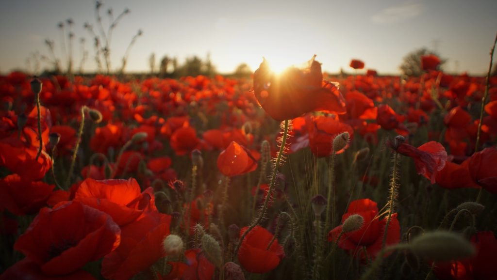An image of the sun rising over a field of red poppies.