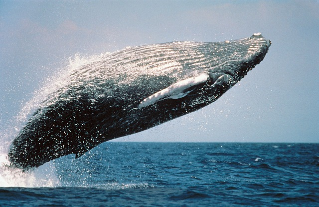 A humpback whale breaches out of the water.