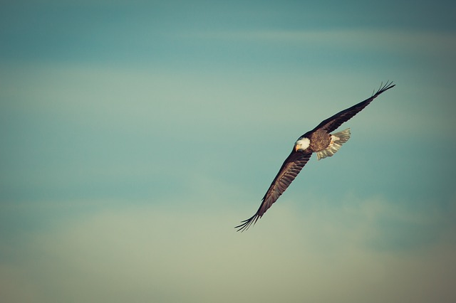 an eagle soars high in the sky
