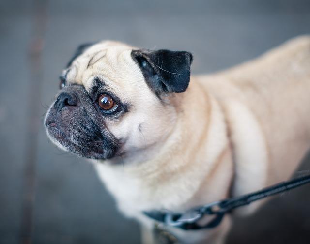 a pug is on a leash