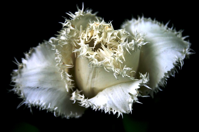 The image is a close-up of a tulip with frayed and jagged edges.