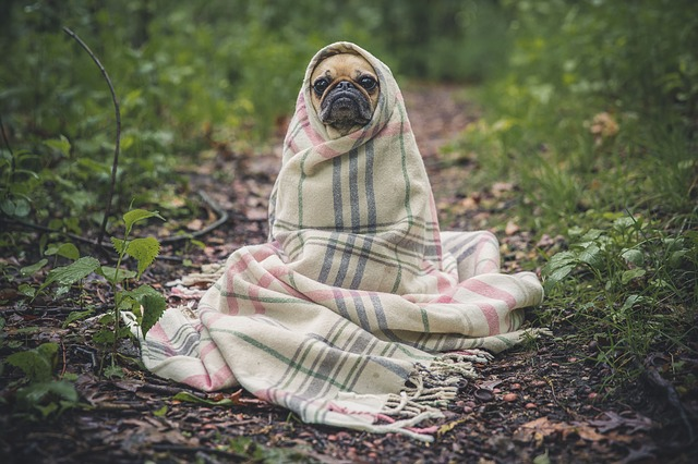 An image of a pug wrapped in a blanket with only its face peeking out.