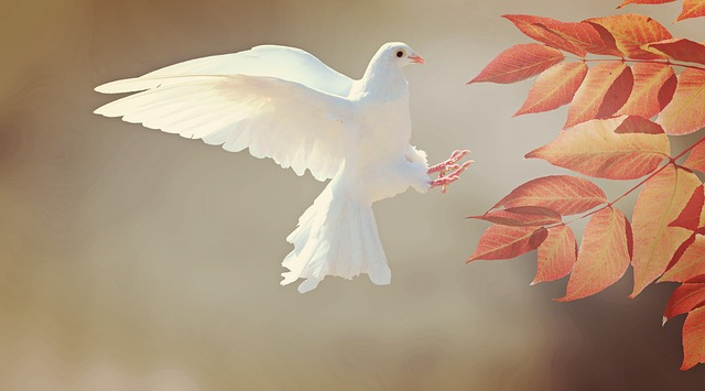 A pure white dove is about to land on a branch with rusty orange colored leaves.