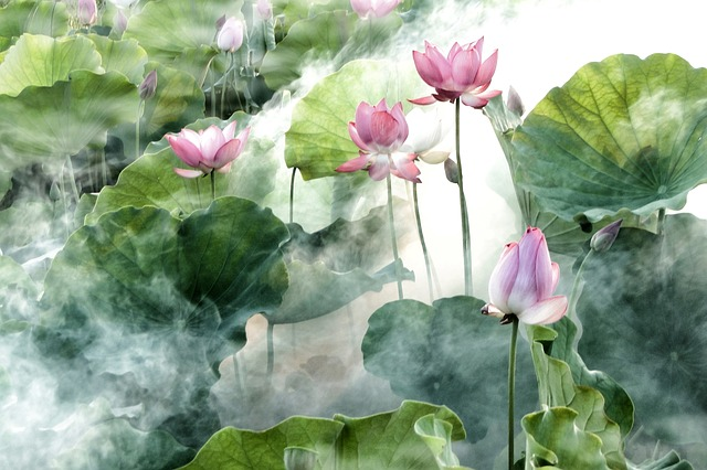 Pink lotus flowers are shrouded in mist.