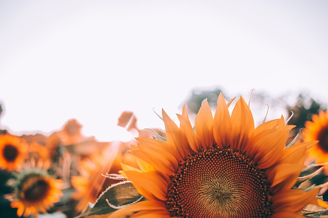 A field of sunflowers, their faces all oriented to the sun.
