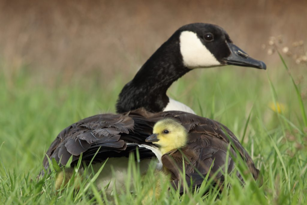A Canada Goose shelters her gosling under her wing.