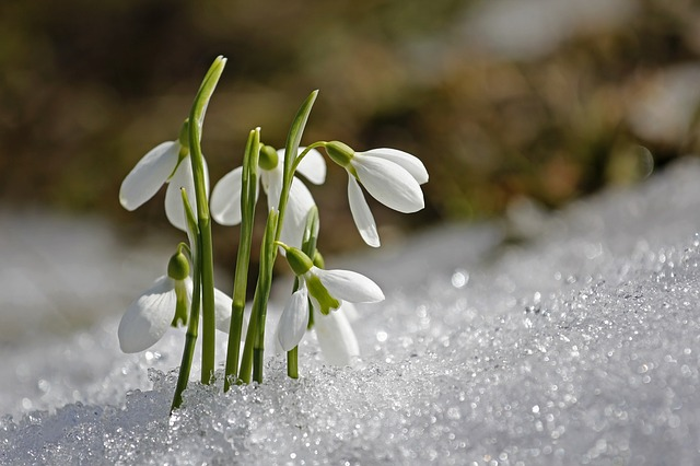 An image of a bunch of snowdrops emerging out of glittering snow.