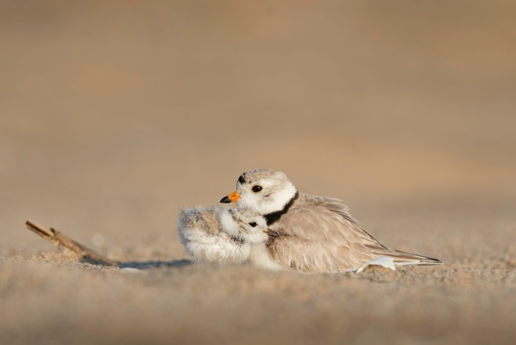 Two smal birds are nestled together in the sand.